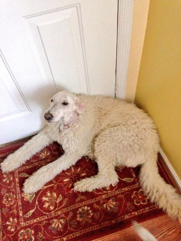 my dad is shaving my dog but he took a break at her head http://t.co/h6iYWl64NJ