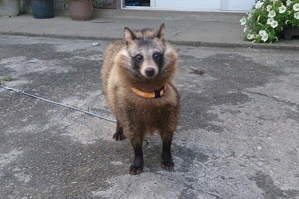 じいちゃんが山で犬を拾ったと言い張る。 完全にタヌキです。pic.twitter.com/ZlkvkMLnT3