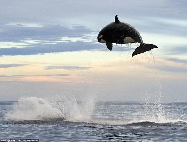 8 ton Orca jumping 15ft out of the water http://t.co/5L9Ao8zZye