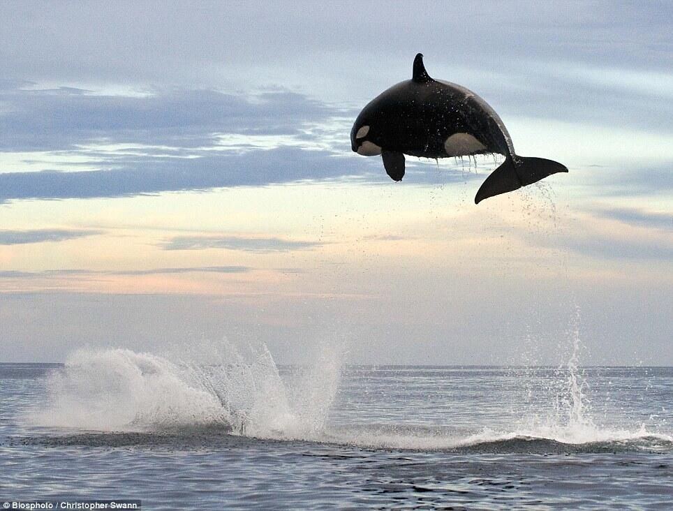 Twitter / zaibatsu: 8 ton Orca jumping 15ft out ...