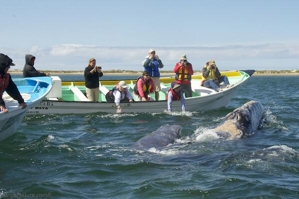 """Grey whale mother & baby saying """"hello"""" in Magdalena Bay, #Baja during excursion with @UnCruise #Best2013 #FriFotos http://t.co/0uoEADPvzW"""