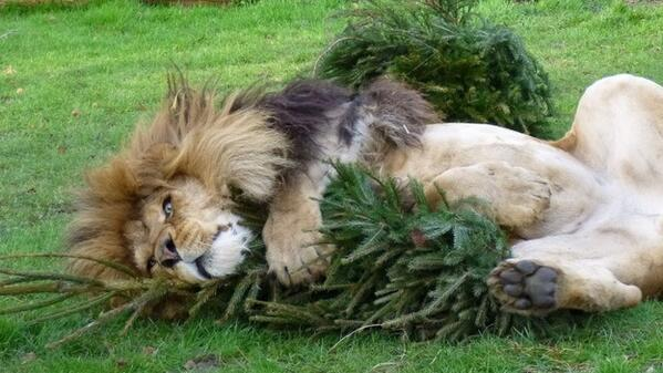 "OH! ""@itvnews: A zoo in Cambridge asks for unwanted Christmas trees to entertain their lions http://t.co/Z3gwoAGwyG http://t.co/ViCQVYuJXZ"""