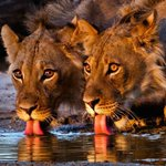Absolutely Stunning Lions  #nature #travel #photography #africa