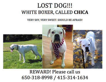 Have you seen Chica? This sweet white boxer went missing from @faustojm this AM in Noe Valley/Bernal Heights #lostdog http://t.co/qsqIhvNMqC
