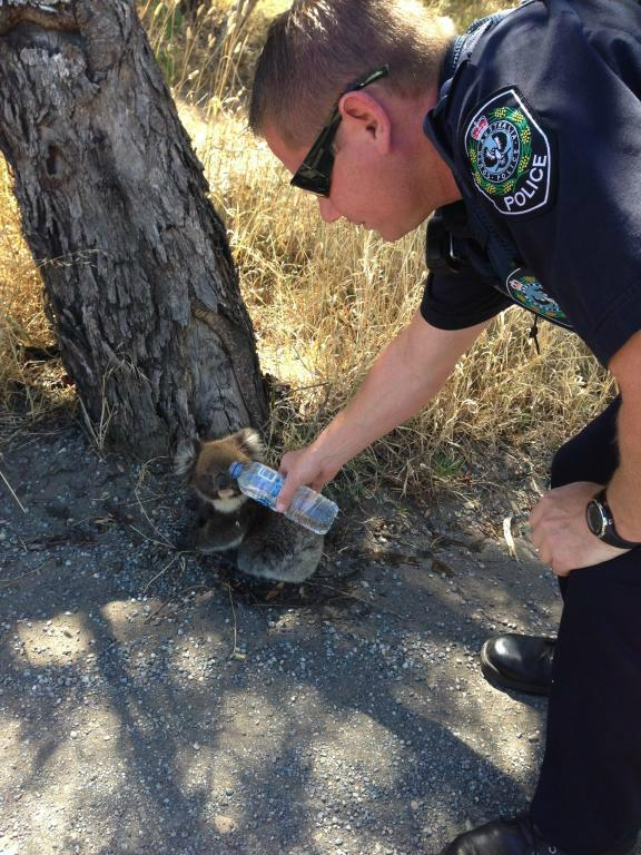 Ben from #ChristiesBeach patrols helping a koala beat the #heatwave today in #Adelaide #police #KOALAtypicture http://t.co/srA4fplJMR