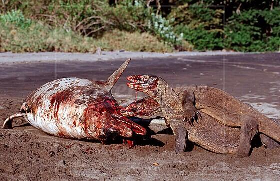 Oh. Heck. Wow. RT @WhySharksMatter: Komodo. Dragons. Eating. A. Dolphin. http://t.co/kWBWDNQSWA http://t.co/QLgFtZbvdh