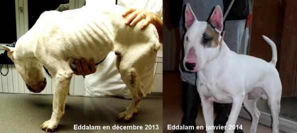 La Spa France On Twitter Eddalam Bull Terrier Retire A Son Proprietaire A Adopter Au Refuge De Brugheas 03 04 70 32 43 42 Http T Co Euwnqk49ph