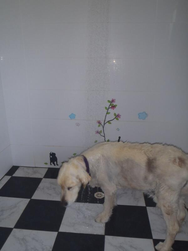 @KevCorduroy @abcnews here is 16 yr old Golden walks to shower & waits to have it turned on http://t.co/y4JJ7Z6RG0