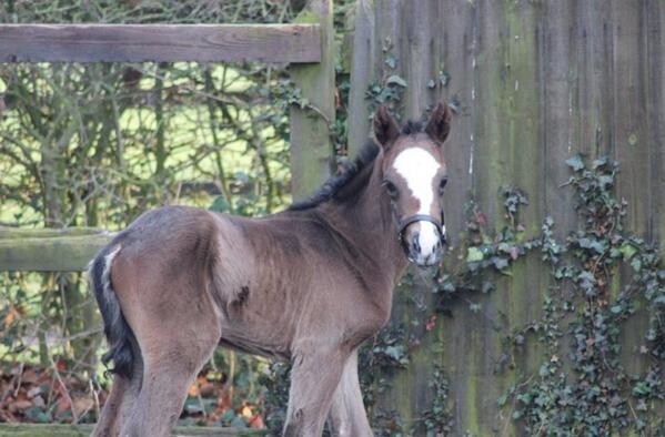 Frankel filly at National stud pictures released on their Facebook site. What a sweet face :) http://t.co/wEzlWsCFpJ