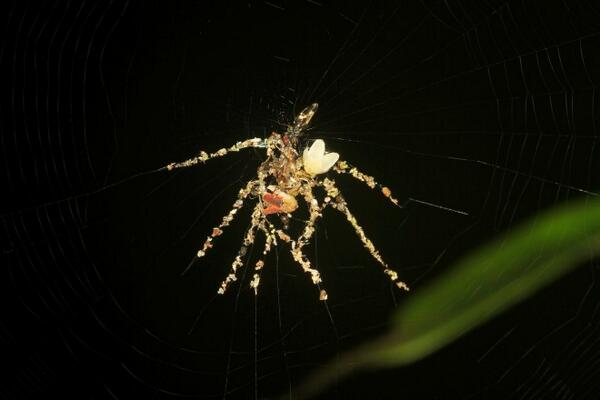 This tiny spider builds a fake spider from insect corpses http://t.co/xryvdDWV7C http://t.co/LvRNsOQCNd