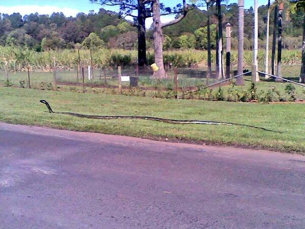 #CAUTION Black Mamba caught on camera in Nelspruit area. Estimated to be 6.5m long. http://t.co/1xqAd5cXrr