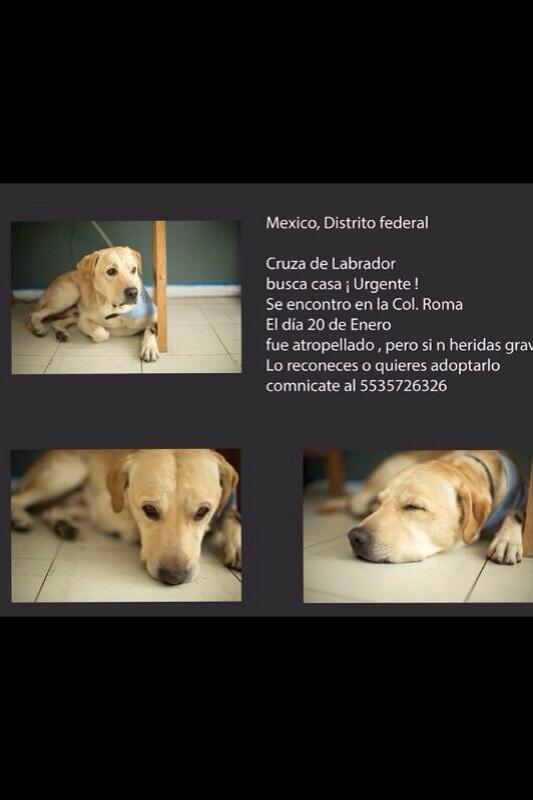 Perrito cruza labrador fue encontrado en la Roma, sí reconoces o quieres adoptar 5535726326 @en_ladelvalle http://t.co/pUCFozrmfR