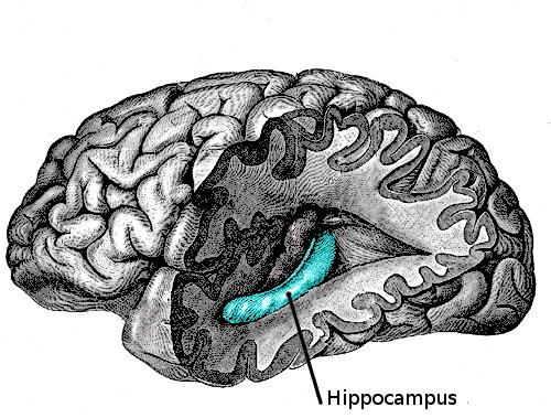 Hippocampus, bagian otak yang berperan dalam mengurusi kebahagiaan dan memori positif. #mbljr http://t.co/Hl6qwk0qm8