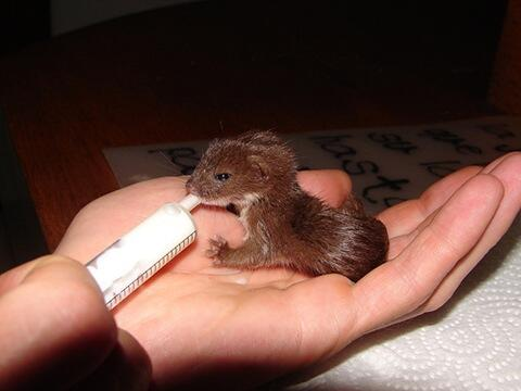 """Anyone feeling glum, take heart! Here is a picture of a tiny baby weasel to add some """"aaw"""" to your day. <3 http://t.co/5kUa3ZanLV"""
