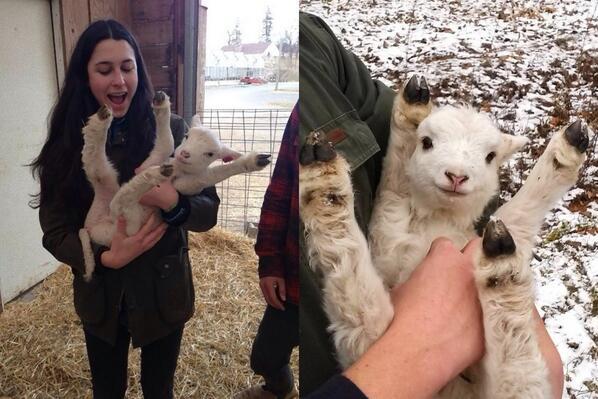 子羊を抱っこすると・・・バンザイしてくれるらしい。 pic.twitter.com/hJza1lGTbY