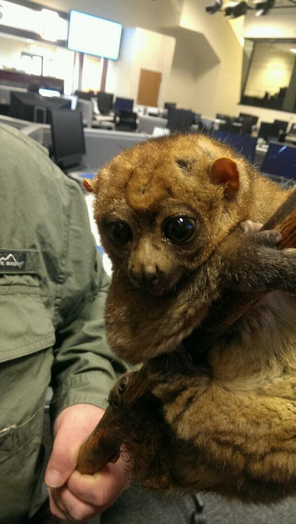 Gabriel the potto from the @CincinnatiZoo is ready for his appearance with @FOX19 @ThaneMaynard  and @JackiJing http://t.co/mWLRnxpVEE