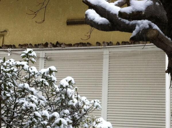 雪から避難中のスズメの群れ。ぎゅうぎゅう。 http://t.co/6yrHXXXQfB