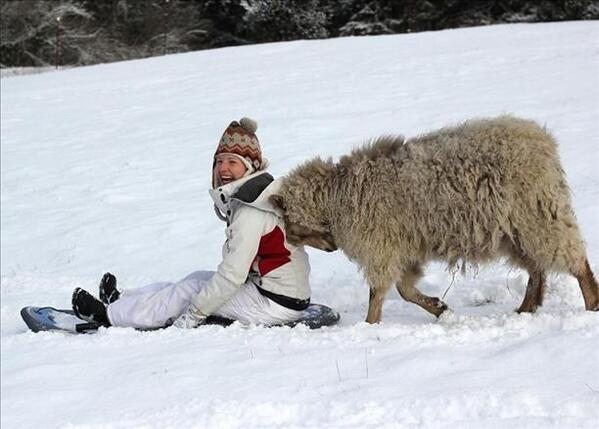 """""""@KGWNews: Alright folks, a goat is pushing a sled! #KGWweather http://t.co/h6Z6qmcVHf"""" #goatlandia"""