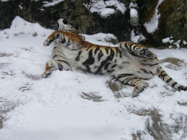 寒いのは苦手なはずなのに・・・。雪の感触を確かめているのかな?