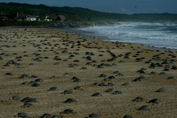 Arribada, Mexico where thousands of female #turtles come to the beach to lay eggs http://t.co/kdaLfEJW4a via @JustSeaTurtles @WILDCOAST