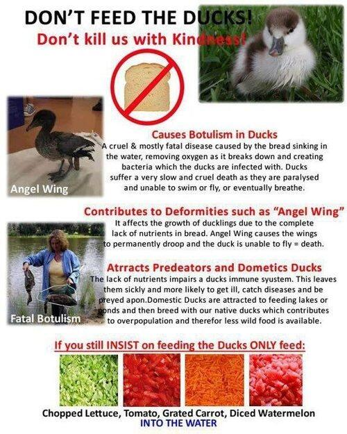 PLEASE DONT FEED DUCKS BREAD!  PLEASE SHARE!!!!! #ducks #animals #sick #rescue #animalcare #birds #Health http://t.co/LGSXCJev99