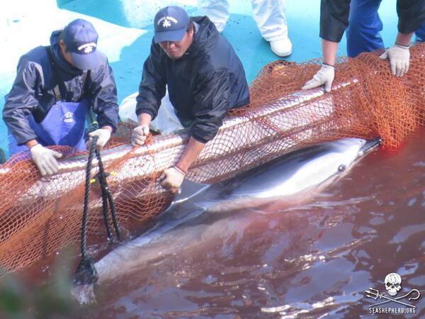 60-65 striped #dolphins savagely killed in #Taiji this morning. Via @CoveGuardians #tweet4taiji #HelpCoveDolphins http://t.co/pJPU71meOY