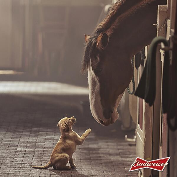 Get ready. The Clydesdales are back with a new friend. #BestBuds #SuperBowl http://t.co/KDtk38uNQS