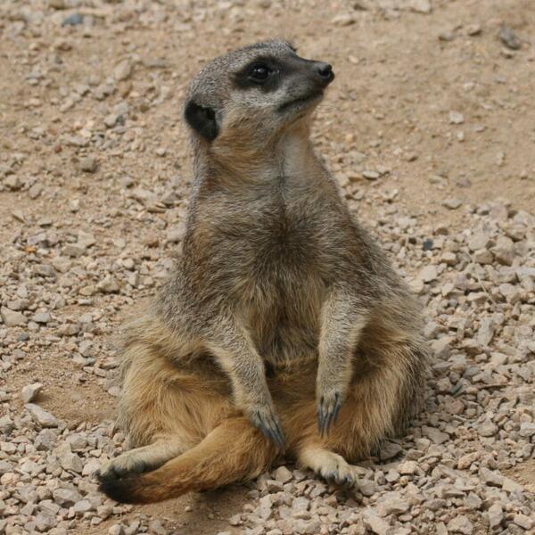 NE England Tame Baby Meerkats For Sale