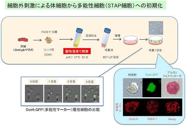 理研、体細胞を万能細胞へと初期化する原理を新発見。短期間に効率よく万能細胞を試験管内で作成 (発表資料)http://t.co/CGx7S54c6D http://t.co/uRjLW1trfZ