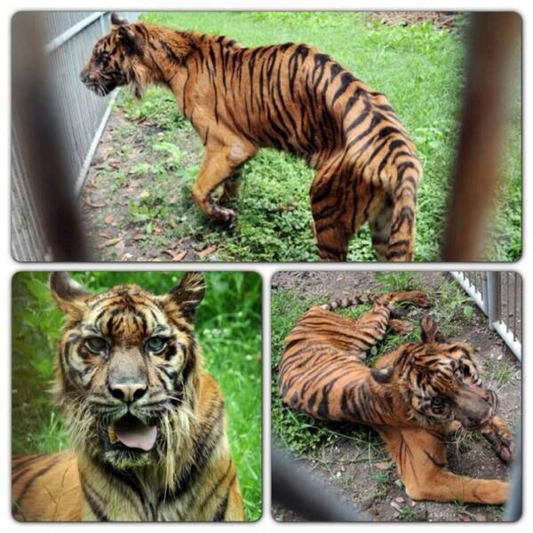 Horrible! RY@smittenkitten21: @tigerworld urabaya Zoo, East Java, Indonesia.A living hell. The world must know! http://t.co/bhigYyloqM