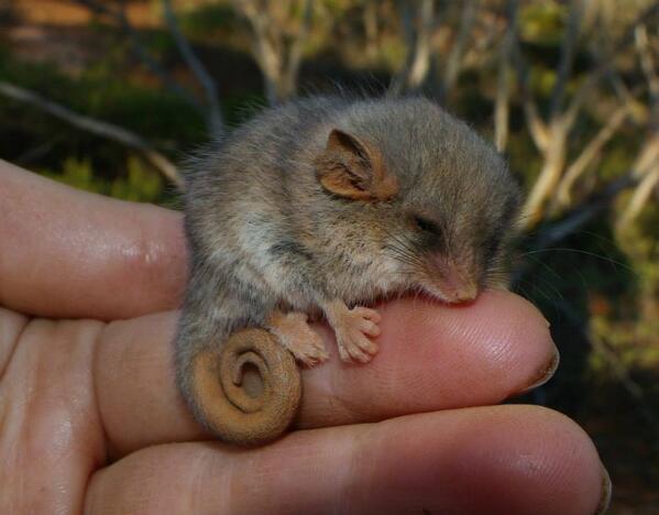 Laura Kinsale On Twitter Gawwww Loz Tk Western Pygmy Possum