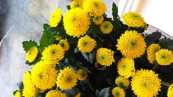 Floritec on twitter new floritec santini crespo ce yellow nice yellow deco flower green center very dark leafsheavy stems you will love it httptkjiibne4wa mightylinksfo