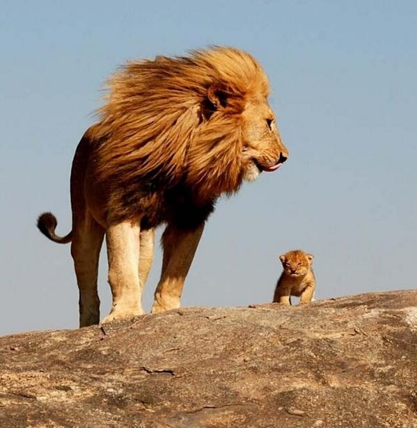 Innocent Drinks On Twitter The Lion King In Real Life Http T Co