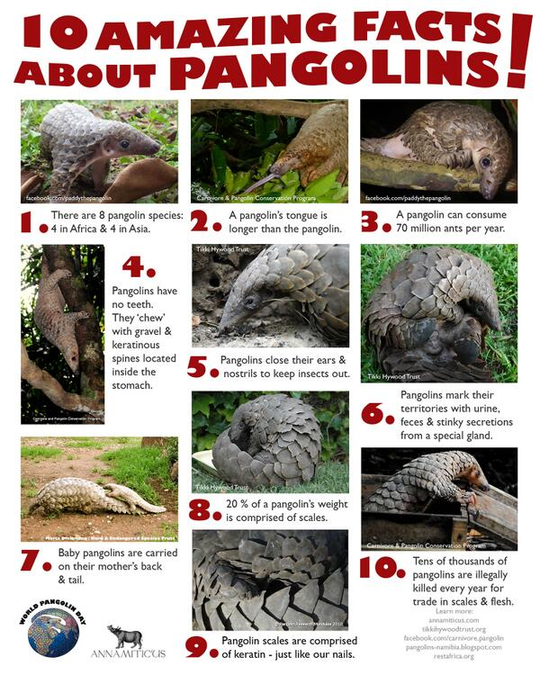 Want to learn more about pangolins? @annamiticus has created a fantastic fact sheet http://t.co/nKgpuBULTH #pangolins #worldpangolinday