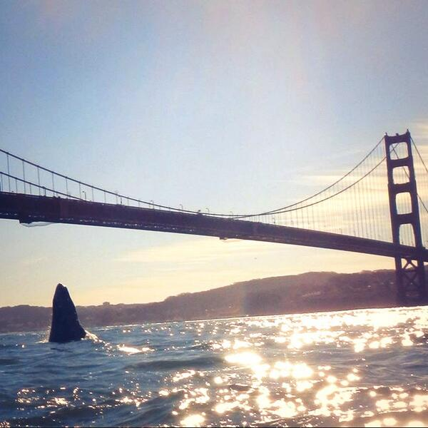 Pic of the day: Baby whale breaching just outside the GG Bridge. Shot by sea kayaker Steve Stotter. http://t.co/cE0zuzFyOs