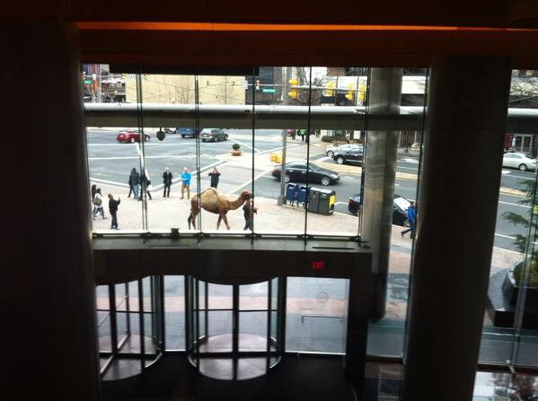 Camel walking around @ArlingtonVA @ARLnowDOTcom, just another Hump Day http://t.co/WSQuH1tp4v