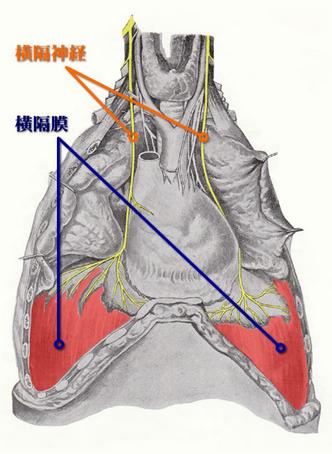 """ゴロ−@解剖生理イラスト on Twitter: """"横隔神経(C4から起こり横隔膜を支配する神経)は、 結構試験で狙われる。  首から始まっているていうのが、大事なところ。 https://t.co/FetDxjprIm"""""""