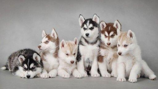 ハスキーの子犬色違い pic.twitter.com/b1TC2KQSI5