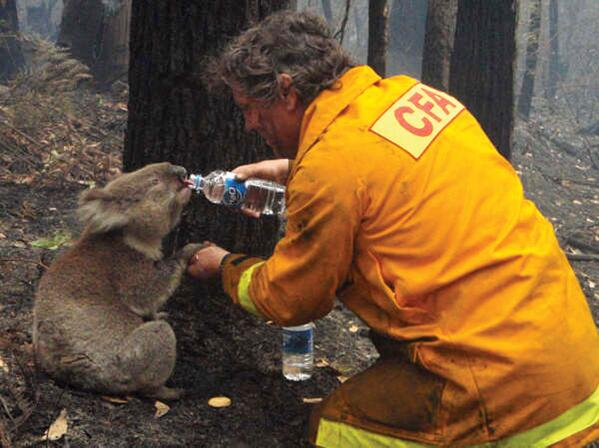 Image result for australia thirsty koala