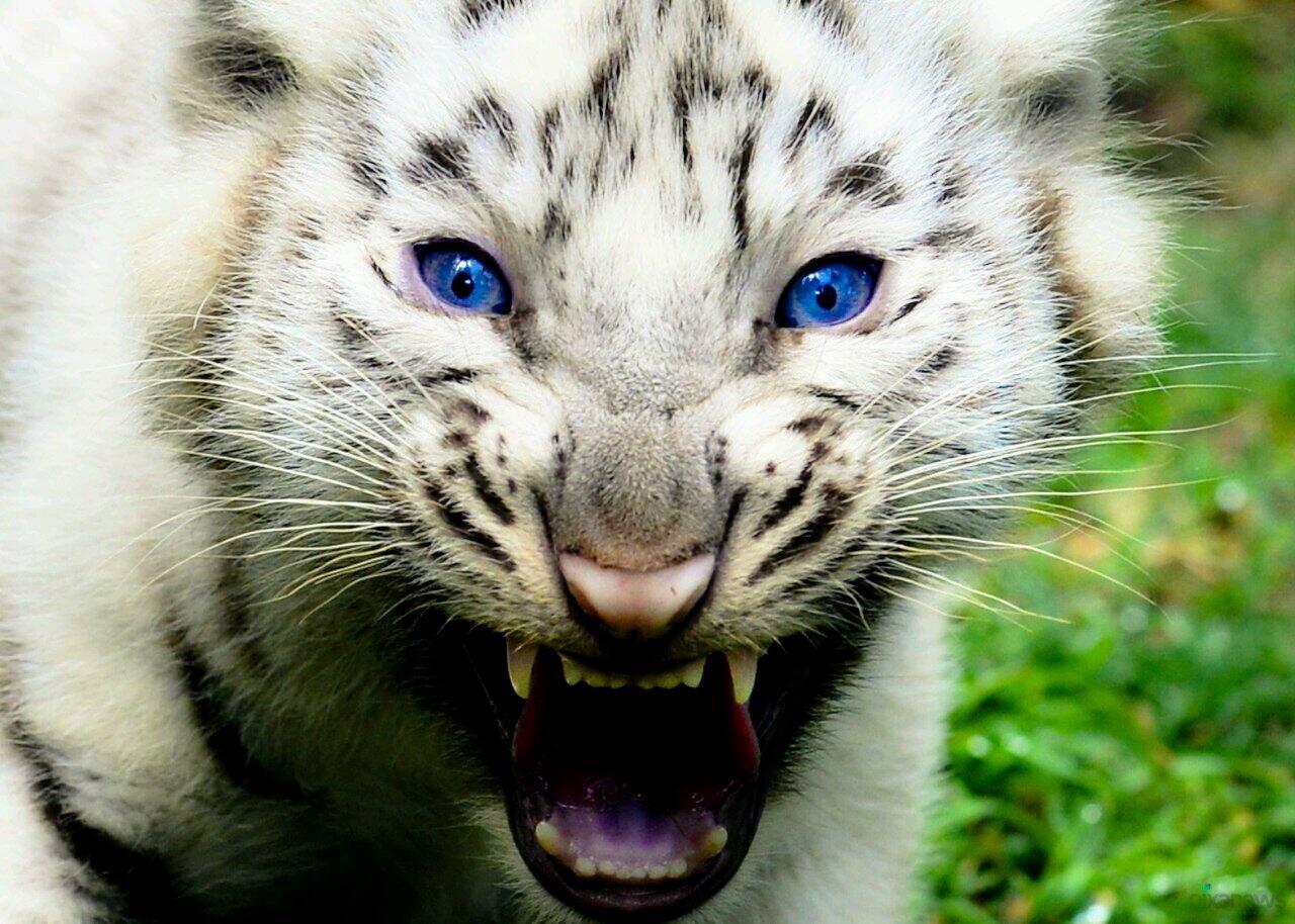 Цветком картинки, картинки белый тигренок с голубыми глазами