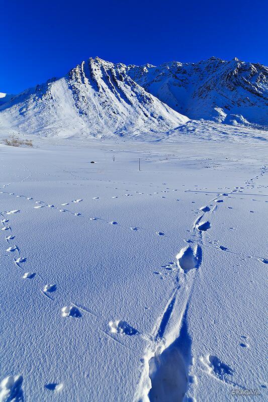 ブルックス山脈にて。ライチョウと何か動物の足跡。 pic.twitter.com/kJ6WPqxlo7