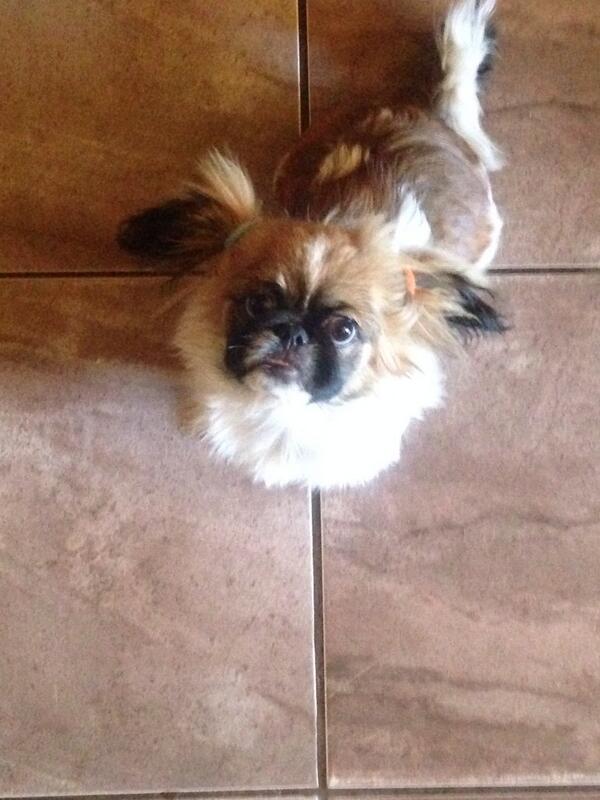 @PEOPLEPets Kea my Pekingese baby girl. Isn't she the cutest http://t.co/CArkYdgS7t