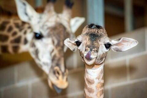 #Giraffe born Houston Zoo 3 days ago welcomed & loved. Thank god it wasn't born @copenhagenzoo it would be lion food. http://t.co/zQTFQRwA2V
