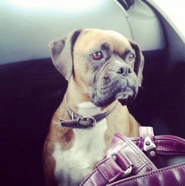 Perro Boxer Perdido en Reñaca, nombre Colomba! Si alguien la ve llamar al 99911864 !! Gracias!! RT RT http://t.co/pkC0amOV71