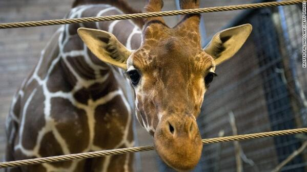 """@cnni: Danish zoo kills a healthy 2 year-old giraffe, then feeds its body to lions. Why?! http://t.co/uJE7SKxNTY http://t.co/ue96na2SBt"""