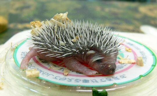 ハリネズミの特徴といえば「針」。ただし、生まれたばかりの赤ちゃんは体液を包む膜で包まれていて、針はその中に隠されています。写真は以前井の頭自然文化園で生まれたヨツユビハリネズミ、生後6日。すでにハリハリしています。 pic.twitter.com/AVl2zYkeLr