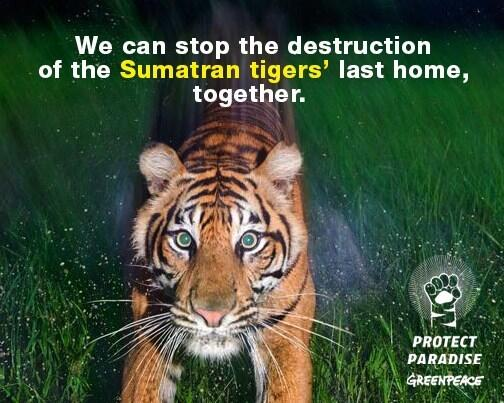 Sumatran tigers are critically endangered, as few as 400 left in the wild. #ProtectParadise> http://t.co/wofJnz6lu0 … http://t.co/u6qRhmvjQ0