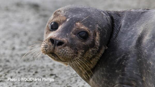 Campaign to End Scottish Seal Cull :: Petition to Parliament http://t.co/UrAsAGIiWS http://t.co/rLUu7LIi94 via @SealScotland #seals #ocean