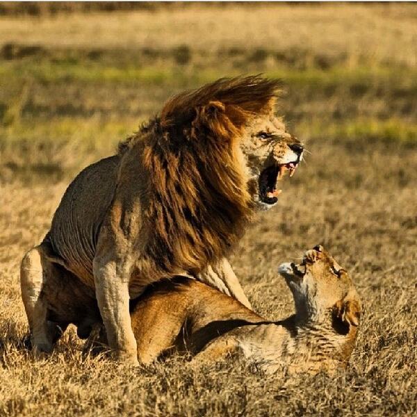lion ass