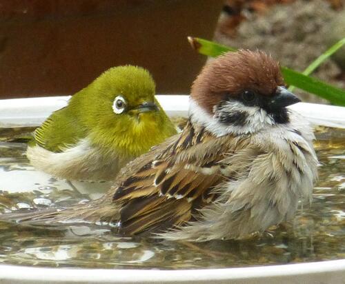 今年初めて!の メジロ君とスズメ君の混浴です。